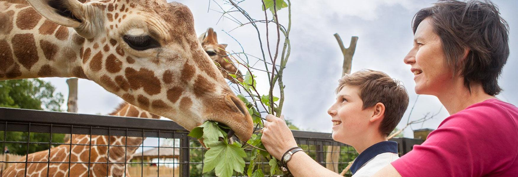 'Meet the Giraffes Experience, ZSL Whipsnade Zoo'
