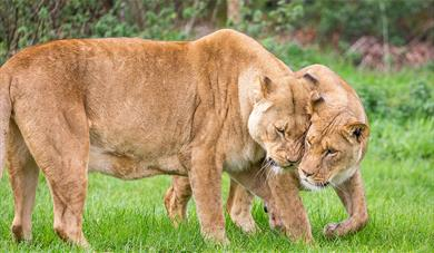African Lions at Woburn