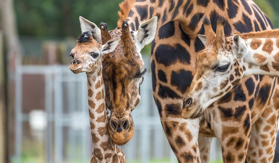 Woburn Safari Park to host Giraffe Charity Weekend