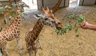 Spring Afternoon Tea and a Giraffe Mini VIP Experience