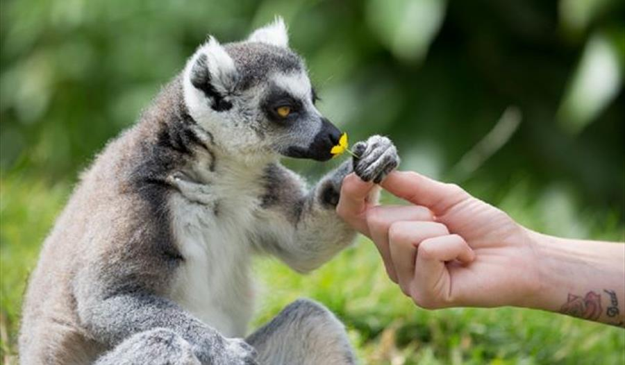 Lemur charity weekend 25th to 27th May at Woburn Safari Park